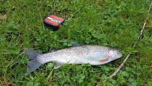 Rainbow Trout — Nicolas Sviech