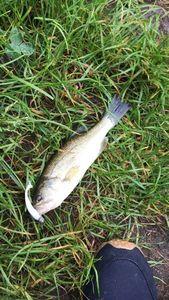 Largemouth Bass — Frederic Rimbault