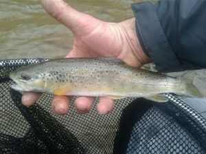 Brown Trout — Olivier Penelle