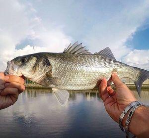 European Bass — Fishing For You Gaëtan