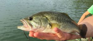 Largemouth Bass — Nico Normand