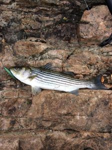 Striped Bass (Landlocked) — Michael Dube