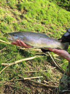 Brown Trout — Aurélien la Ternoise