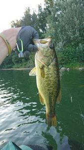 Largemouth Bass — Xav Latoz
