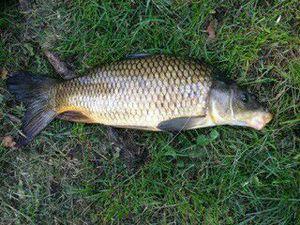Common Carp — Franek Hennebert