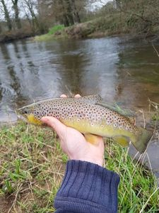 Brown Trout — Jim Lucas