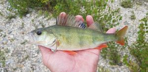 European Perch — Chris Str