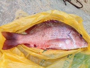 African Red Snapper — Ludovic Allaire