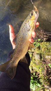 Brown Trout — Guillaume Brun