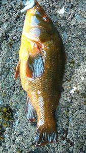 Ballan Wrasse — breizh fish addict