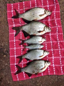 Common Bream — Jeansebastien Garibal