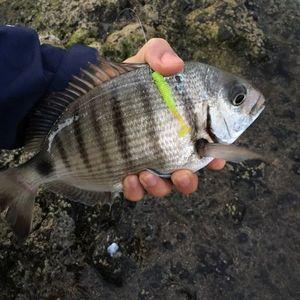 White Seabream — Hao Pecheur
