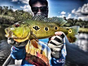 Peacock Bass (Tucunaré Orinocensis) — Angler's Madness (Vincent _b)