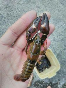 American Signal Crayfish — Emilien Torregrosa