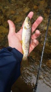 Brown Trout — Thibault Gilbert
