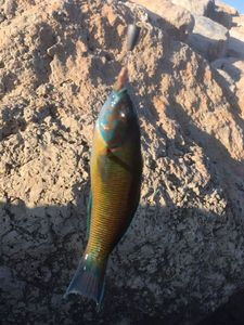 Ornate Wrasse — Matty Fishermen13