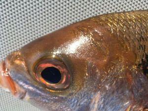 Blackspot Seabream — Matthieu Issaverdens