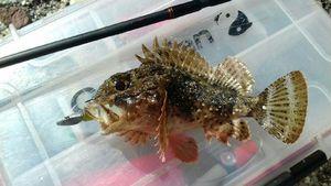 Red Scorpionfish — Samuel Balcou