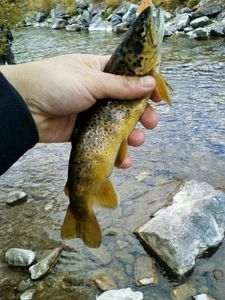 Brown Trout — Julien Lrda