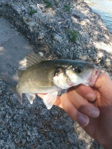 European Bass — Walker's Fishing