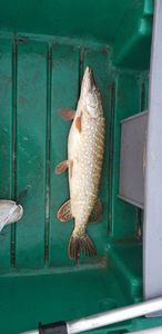 Northern Pike — Bruce Carroue