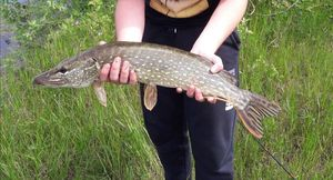 Northern Pike — Théophile  Muscat