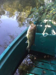 Largemouth Bass — Flavien Monroe