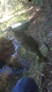 Largemouth Bass — Nathan Journoux