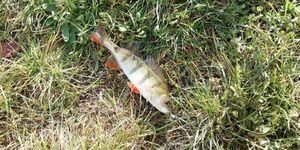 European Perch — mordu fish