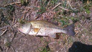 Smallmouth Bass — Timothée Festal