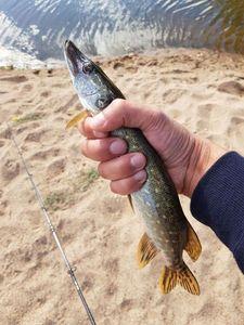 Northern Pike — Rod Fishing