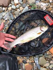 Rainbow Trout — Toto Rns