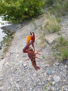 Spinycheek Crayfish — Olivier fiching treize