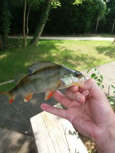 European Perch — Romain Trte