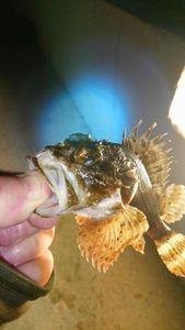 Brown Scorpionfish — Jean Marie  Chirvanian