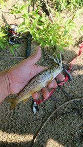 Brown Trout — MaCK  Fishing