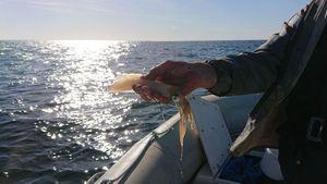 European Squid — Martial Montembault