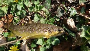 Brown Trout — Benoit Genu