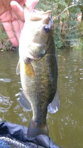 Largemouth Bass — Arnaud Desaivres