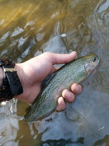 Rainbow Trout — Walker's Fishing