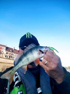 European Perch — Monster Carna