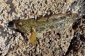Giant Goby — Vincent Milane