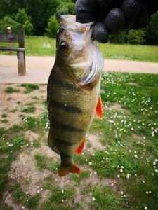 European Perch — Majid Adrrab