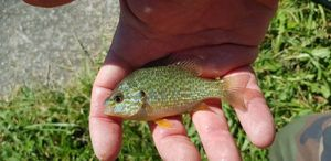 Green Sunfish — Chris Str