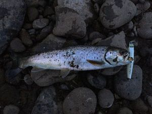 Sea Trout — Mat Pako