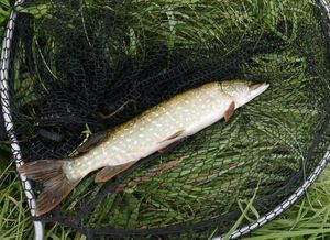 Northern Pike — Florent Bergeron