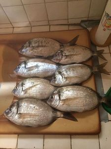 Common Two-banded Seabream — Franck Sossy Gurrieri Pba