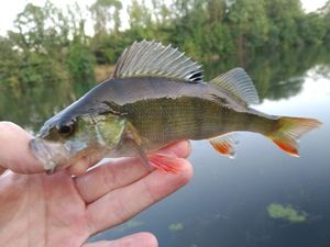 European Perch — Joseph Gonnord