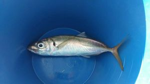 Atlantic Horse Mackerel — Olivier Armand