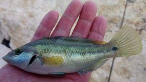 Labre Paon — Mich  Pêche